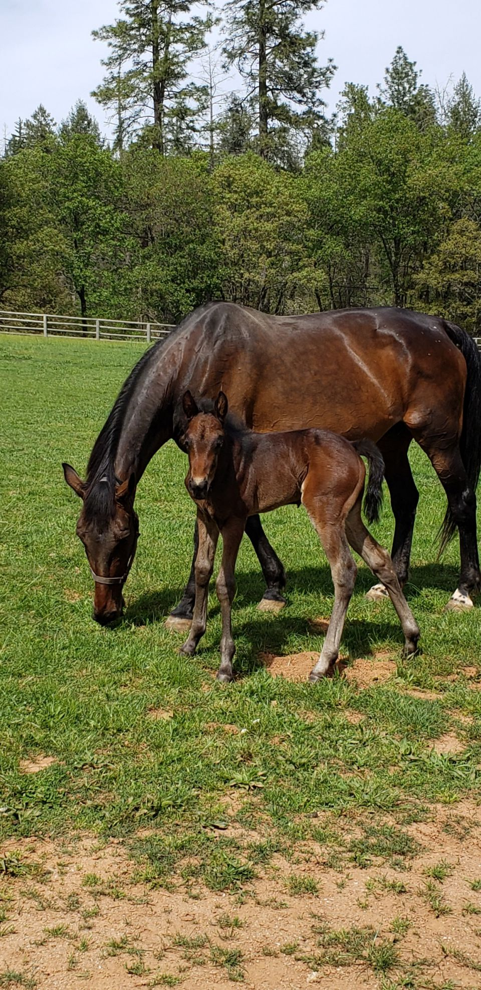 Now this mare is a iron horse she started over 200 times made a a lot of money the hard way this is her 2020 Colt he's a big cry baby titty mouth